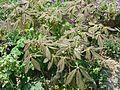 Aesculus pavia Rosea Nana new foliage - Flickr - peganum.jpg