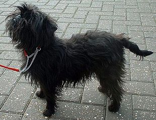 Black is the most common Affenpinscher coat color.