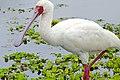 African Spoonbill (Platalea alba) (32486815043).jpg