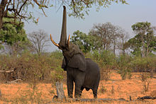 High Quality An African Elephant Using Its Prehensile Trunk For Foraging