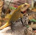 Agamid-lizard-kerala-india.jpg