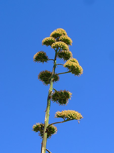 Agave americana, Agavaceae, Century Plant, Maguey, infrutescence. Fitou, France.