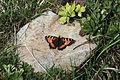 Aglais urticae - Small tortoiseshell 01.jpg