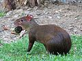 Agouti with Food - Flickr - treegrow.jpg