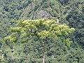 Albizia sheriffi, Sikkim AJTJ DSCN6581.jpg