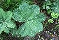 Alchemilla monticola leaf (12).jpg