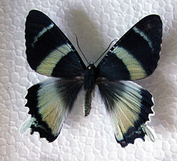 Alcidis agathyrsus.JPG