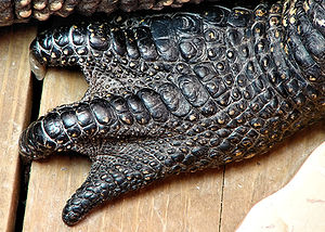 An American alligator's foot