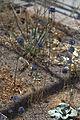 Allium caeruleum GotBot 2015 004.jpg