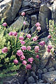 Allium schoenoprasum2.jpg
