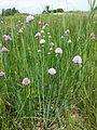Allium schoenoprasum var. alpinum sl5.jpg