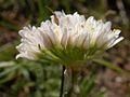 Allium textile (3619060013).jpg