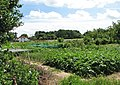 Allotments beside Court Road - geograph.org.uk - 854801.jpg