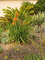 Aloe cooperi in flower IMG 1702e.JPG