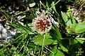 Alpine flora - a white clover (Gru) (37061667474).jpg