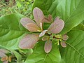Alseodaphne semecarpifolia 24.JPG
