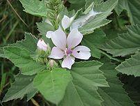 Echter Eibisch Althaea officinalis, Wismarbucht