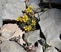 Alyssum cuneifolium 1.jpeg