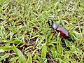 Amal effendi wiki kontes 01 Kumbang Kelapa (Xylotrupes gideon).jpg