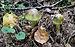 Amanita phalloides 2011 G1.jpg