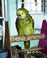 Amazona aestiva -Bequia, Saint Vincent and the Grenadines -pet parrot-8a.jpg