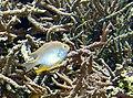 Amblyglyphidodon aureus001.jpg