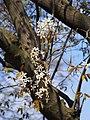 Amelanchier lamarckii Świdośliwa Lamarcka 2017-04-09 04.jpg