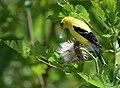 American Goldfinch (36947350784).jpg