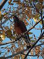 American Robin (Turdus migratorius) - Saskatoon 02.jpg