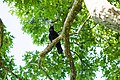 American crow (39799406760).jpg