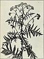 American medicinal leaves and herbs (1911) (17968695438).jpg