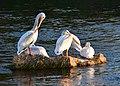 American white pelican on Seedsakdee National Wildlife Refuge (36652860530).jpg