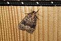 Amphipyra berbera (36290225400).jpg