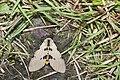 Amsactoides solitarius (40895338492).jpg