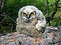 An Owl at Newell Creek, North of Burns, Oregon (13992071227).jpg