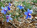 Anagallis monelli. Meruxa de flor azul anellada.jpg