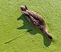 Anas platyrhynchos (female) in Lemna sp, Swan Lake, Saanich, British Columbia 04.jpg