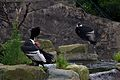 Andean Condor at Chester Zoo.jpg