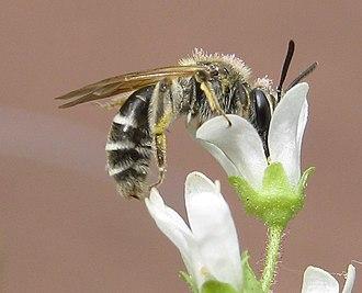Andrena - Image: Andrena nasonii. saxifrage