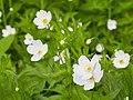Anemone canadensis-IMG 0632.jpg