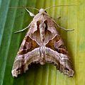 Angle Shades. Phlogophora meticulosa - Flickr - gailhampshire (3).jpg