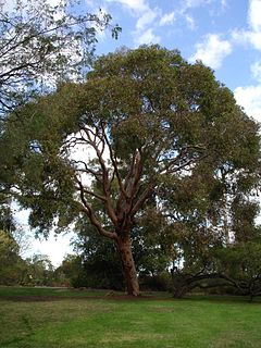 <i>Angophora</i> genus of plants