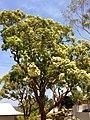 Angophora floribunda in flower.jpg