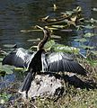 Anhinga drying out (6743041611).jpg