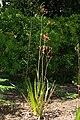 Anigozanthos rufa, Conservatoire botanique national de Brest 02.jpg