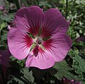 Anisodontea-slightlystrawberry.jpg