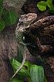 Anolis barbatus in captivity.jpg