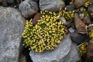 Colobanthus quitensis - Antarctic Pearlwort at St. Andrews Bay, South Georgia