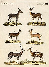 Antelopes and Gazelles - Bertuch.jpg