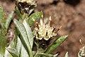 Antennaria dimorpha 7798f.JPG